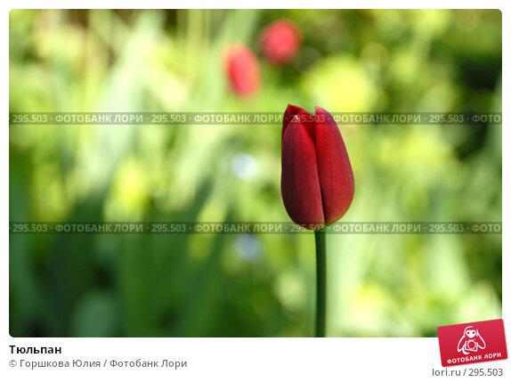 Купить «Тюльпан», фото № 295503, снято 17 мая 2008 г. (c) Горшкова Юлия / Фотобанк Лори
