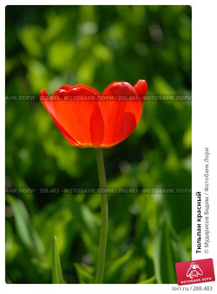 Тюльпан красный, фото № 288483, снято 17 мая 2008 г. (c) Мударисов Вадим / Фотобанк Лори