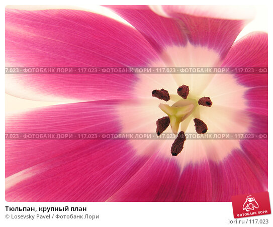 Тюльпан, крупный план, фото № 117023, снято 10 марта 2006 г. (c) Losevsky Pavel / Фотобанк Лори