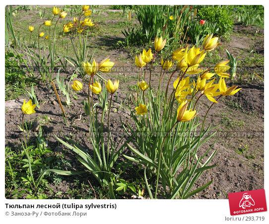 Тюльпан лесной (tulipa sylvestris), фото № 293719, снято 17 мая 2008 г. (c) Заноза-Ру / Фотобанк Лори