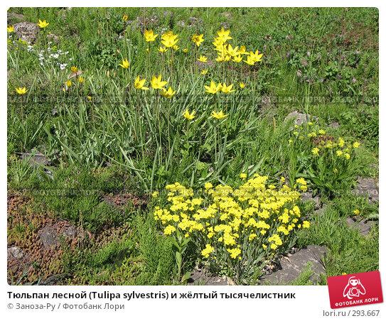 Тюльпан лесной (Tulipa sylvestris) и жёлтый тысячелистник, фото № 293667, снято 17 мая 2008 г. (c) Заноза-Ру / Фотобанк Лори