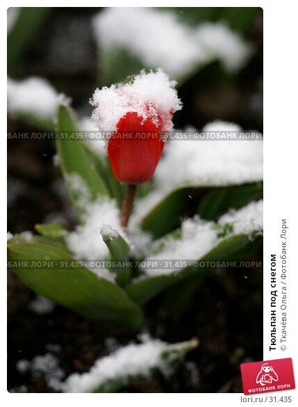 Купить «Тюльпан под снегом», фото № 31435, снято 8 апреля 2007 г. (c) Ткачёва Ольга / Фотобанк Лори