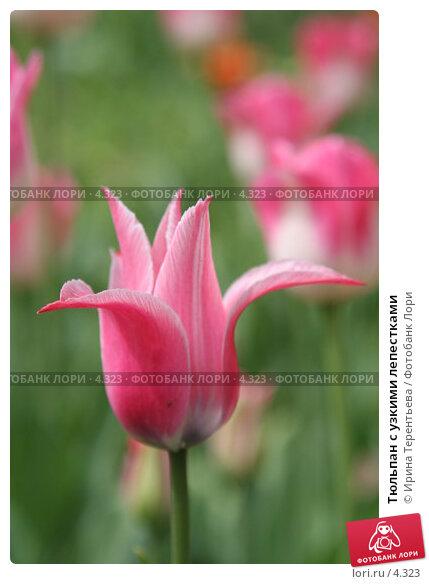 Тюльпан с узкими лепестками, эксклюзивное фото № 4323, снято 29 мая 2006 г. (c) Ирина Терентьева / Фотобанк Лори