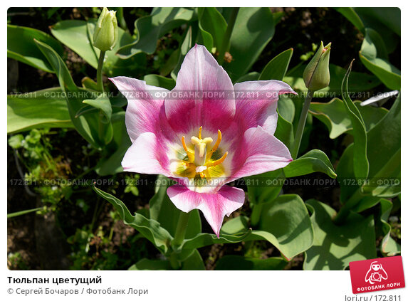 Тюльпан цветущий, фото № 172811, снято 19 мая 2007 г. (c) Сергей Бочаров / Фотобанк Лори