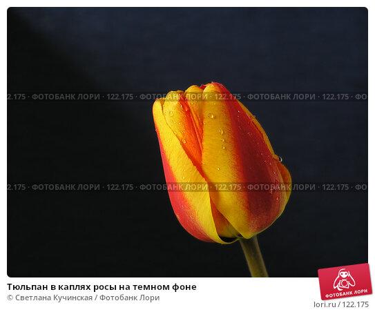 Тюльпан в каплях росы на темном фоне, фото № 122175, снято 24 июня 2017 г. (c) Светлана Кучинская / Фотобанк Лори