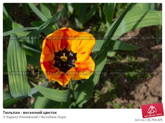Тюльпан - весенний цветок. Стоковое фото, фотограф Кирилл Репневский / Фотобанк Лори