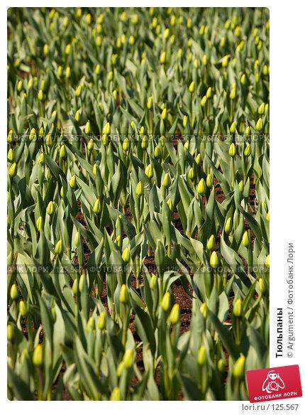 Купить «Тюльпаны», фото № 125567, снято 11 мая 2007 г. (c) Argument / Фотобанк Лори