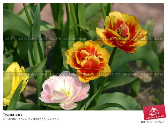 Купить «Тюльпаны», фото № 163575, снято 16 мая 2007 г. (c) Елена Блохина / Фотобанк Лори