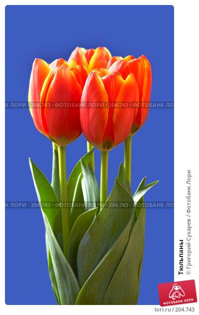 Тюльпаны, фото № 204743, снято 8 марта 2007 г. (c) Григорий Сухарев / Фотобанк Лори