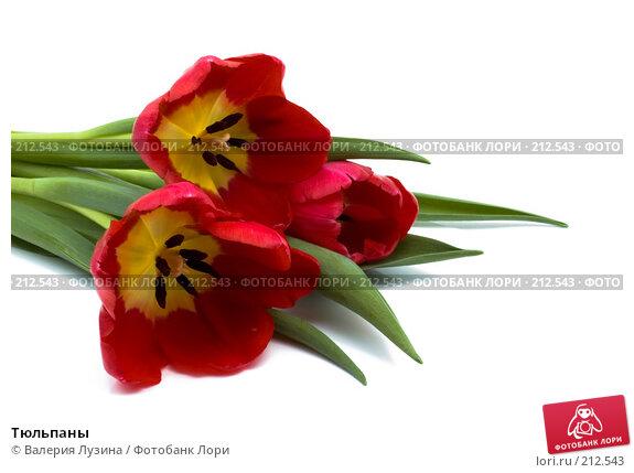Тюльпаны, фото № 212543, снято 1 марта 2008 г. (c) Валерия Потапова / Фотобанк Лори