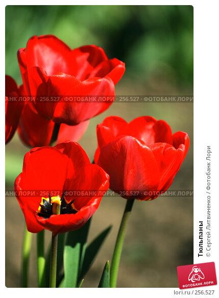 Купить «Тюльпаны», фото № 256527, снято 19 апреля 2008 г. (c) Сергей Литвиненко / Фотобанк Лори