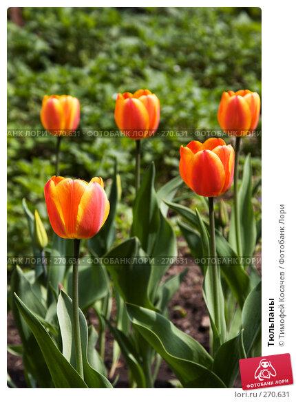Тюльпаны, фото № 270631, снято 2 мая 2008 г. (c) Тимофей Косачев / Фотобанк Лори