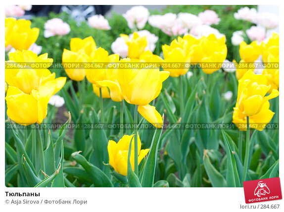 Тюльпаны, фото № 284667, снято 11 мая 2008 г. (c) Asja Sirova / Фотобанк Лори
