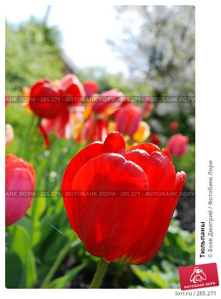 Тюльпаны, фото № 285271, снято 11 мая 2008 г. (c) Боев Дмитрий / Фотобанк Лори