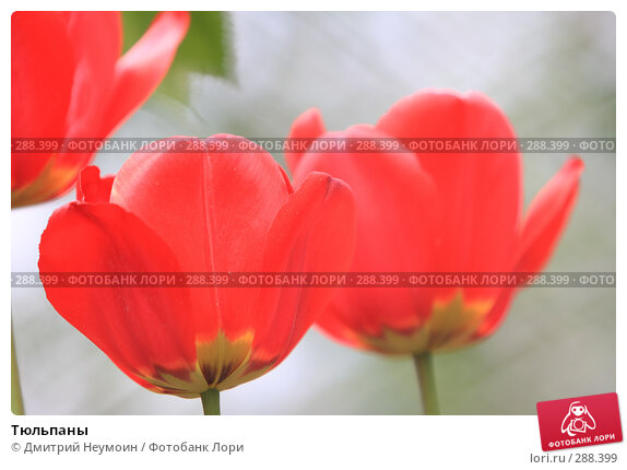 Купить «Тюльпаны», эксклюзивное фото № 288399, снято 21 апреля 2008 г. (c) Дмитрий Нейман / Фотобанк Лори