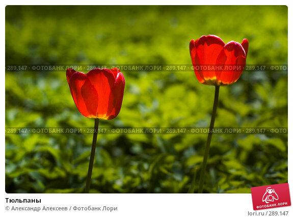 Тюльпаны, эксклюзивное фото № 289147, снято 17 мая 2008 г. (c) Александр Алексеев / Фотобанк Лори