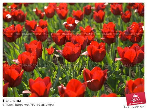Тюльпаны, эксклюзивное фото № 296931, снято 12 мая 2008 г. (c) Павел Широков / Фотобанк Лори