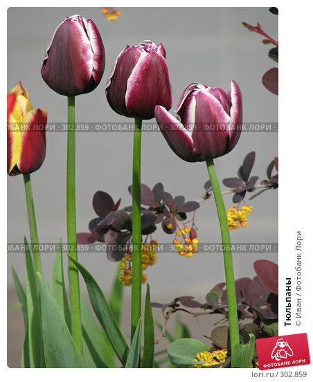 Купить «Тюльпаны», фото № 302859, снято 14 мая 2008 г. (c) Иван / Фотобанк Лори