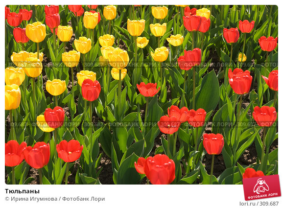 Тюльпаны, фото № 309687, снято 3 мая 2008 г. (c) Ирина Игумнова / Фотобанк Лори