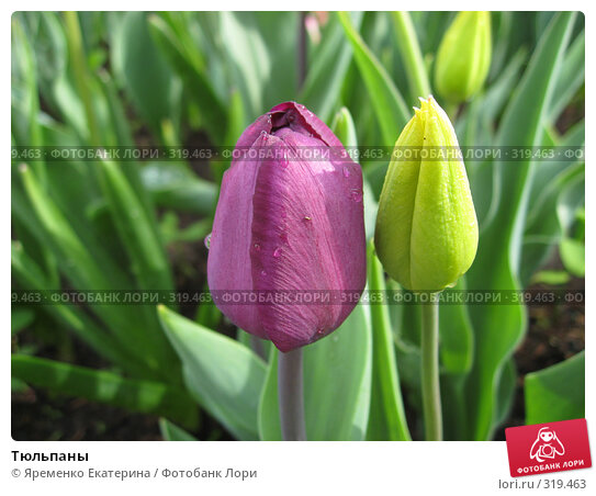 Тюльпаны, фото № 319463, снято 20 мая 2008 г. (c) Яременко Екатерина / Фотобанк Лори
