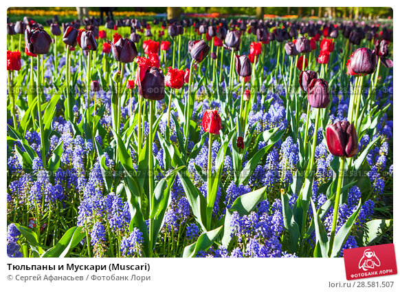 Купить «Тюльпаны и Мускари (Muscari)», фото № 28581507, снято 4 мая 2018 г. (c) Сергей Афанасьев / Фотобанк Лори