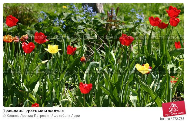 Тюльпаны красные и желтые, фото № 272735, снято 3 мая 2008 г. (c) Коннов Леонид Петрович / Фотобанк Лори