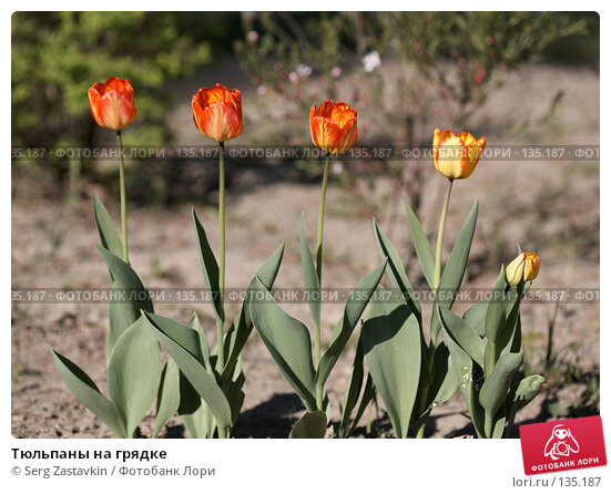 Купить «Тюльпаны на грядке», фото № 135187, снято 31 мая 2006 г. (c) Serg Zastavkin / Фотобанк Лори