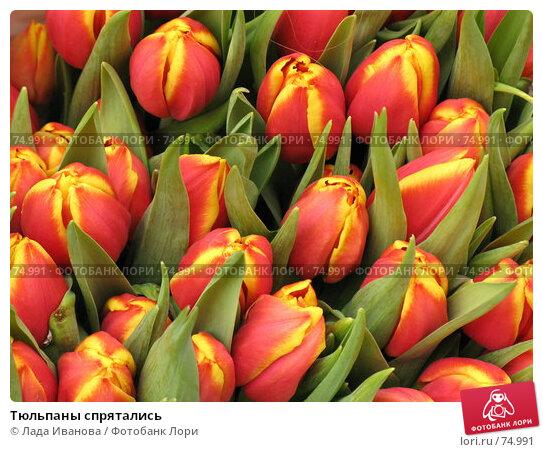 Тюльпаны спрятались, фото № 74991, снято 10 апреля 2007 г. (c) Лада Иванова / Фотобанк Лори