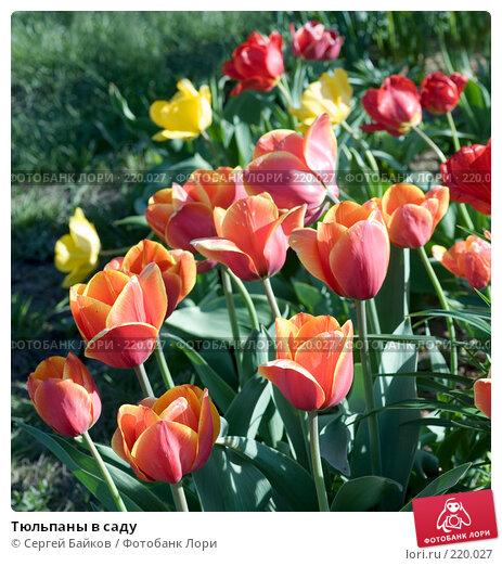 Тюльпаны в саду, фото № 220027, снято 16 мая 2007 г. (c) Сергей Байков / Фотобанк Лори