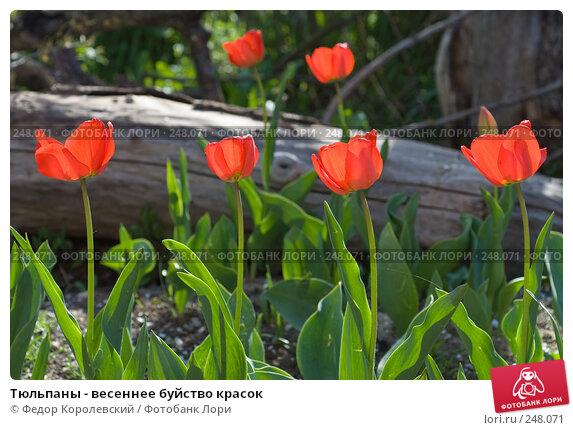 Купить «Тюльпаны - весеннее буйство красок», фото № 248071, снято 10 апреля 2008 г. (c) Федор Королевский / Фотобанк Лори