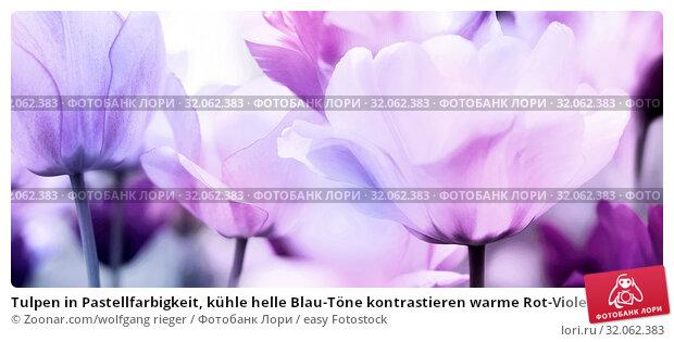 Tulpen in Pastellfarbigkeit, kühle helle Blau-Töne kontrastieren warme Rot-Violett, neutrale mittlere Violett-Rosa-Töne. Offene Blütenformen in Panorama Format. Стоковое фото, фотограф Zoonar.com/wolfgang rieger / easy Fotostock / Фотобанк Лори