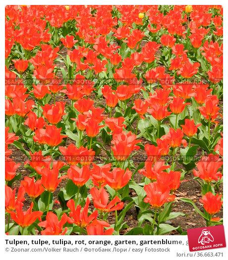 Tulpen, tulpe, tulipa, rot, orange, garten, gartenblume, gartenblumen... Стоковое фото, фотограф Zoonar.com/Volker Rauch / easy Fotostock / Фотобанк Лори