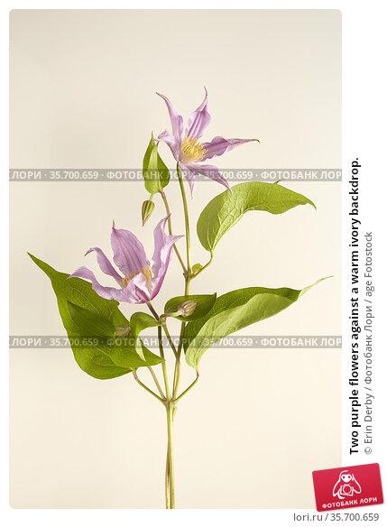 Two purple flowers against a warm ivory backdrop. Стоковое фото, фотограф Erin Derby / age Fotostock / Фотобанк Лори