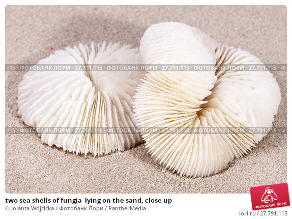 Купить «two sea shells of fungia  lying on the sand, close up», фото № 27791115, снято 20 октября 2018 г. (c) PantherMedia / Фотобанк Лори