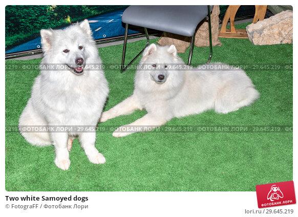 Купить «Two white Samoyed dogs», фото № 29645219, снято 24 ноября 2018 г. (c) FotograFF / Фотобанк Лори