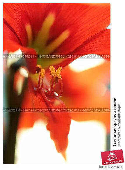 Тычинки красной лилии, фото № 296011, снято 30 апреля 2008 г. (c) Astroid / Фотобанк Лори