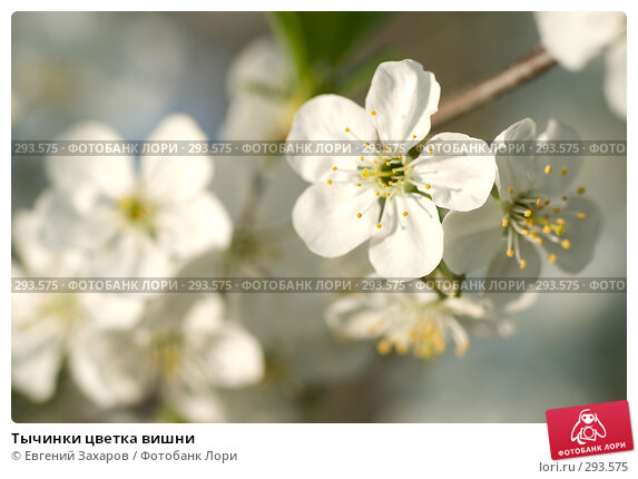 Тычинки цветка вишни, фото № 293575, снято 2 мая 2008 г. (c) Евгений Захаров / Фотобанк Лори