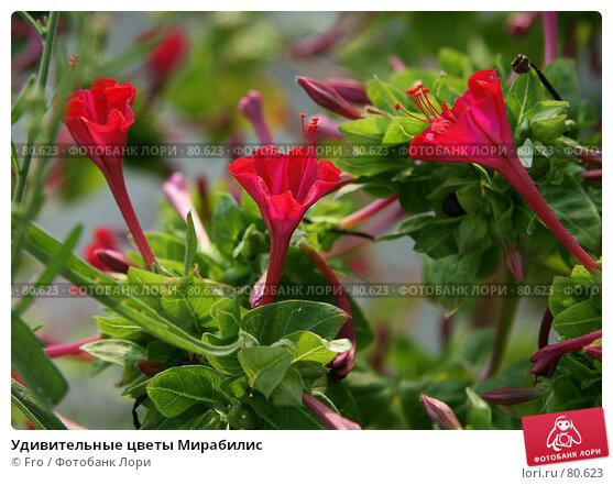 Удивительные цветы Мирабилис, фото № 80623, снято 26 августа 2007 г. (c) Fro / Фотобанк Лори