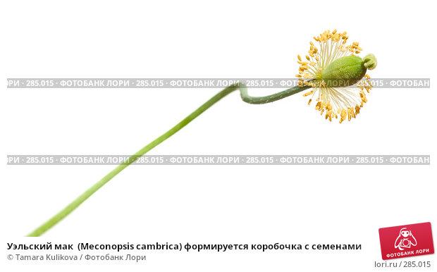 Уэльский мак  (Meconopsis cambrica) формируется коробочка с семенами, фото № 285015, снято 13 мая 2008 г. (c) Tamara Kulikova / Фотобанк Лори