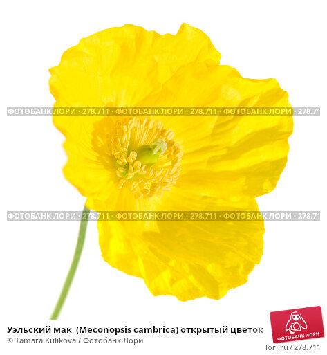 Уэльский мак  (Meconopsis cambrica) открытый цветок, фото № 278711, снято 9 мая 2008 г. (c) Tamara Kulikova / Фотобанк Лори
