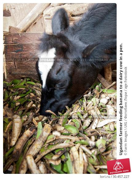 Ugandan farmer feeding banana to a dairy cow in a pen. Стоковое фото, фотограф Farm Images \ UIG / age Fotostock / Фотобанк Лори