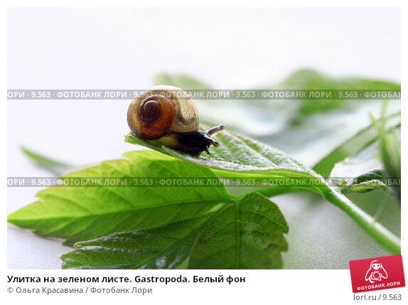 Купить «Улитка на зеленом листе. Gastropoda. Белый фон», фото № 9563, снято 25 мая 2006 г. (c) Ольга Красавина / Фотобанк Лори