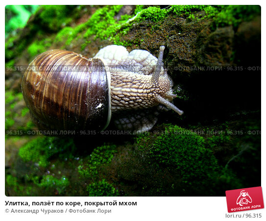Купить «Улитка, ползёт по коре, покрытой мхом», фото № 96315, снято 2 июля 2005 г. (c) Александр Чураков / Фотобанк Лори