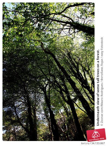 Купить «Underneath view of some tall trees on a forest.», фото № 34133867, снято 3 июля 2020 г. (c) easy Fotostock / Фотобанк Лори