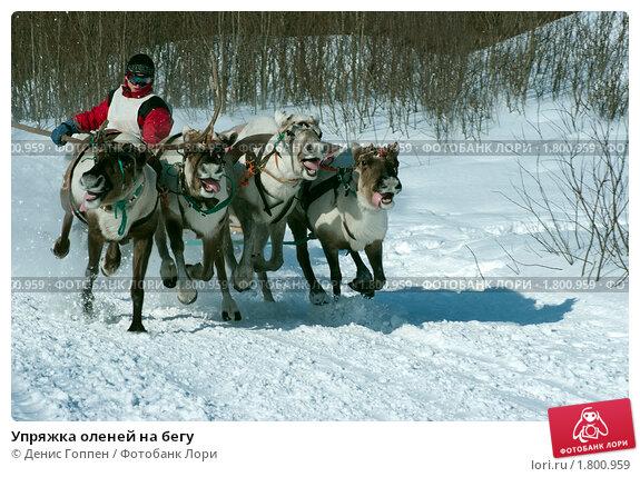 Упряжка оленей на бегу. Редакционное фото, фотограф Денис Гоппен / Фотобанк Лори