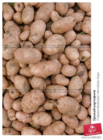 Купить «Урожай картофеля», эксклюзивное фото № 630563, снято 26 августа 2008 г. (c) Ирина Мойсеева / Фотобанк Лори