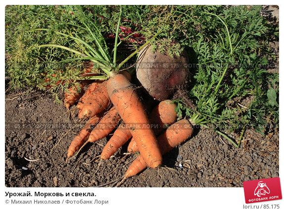Урожай. Морковь и свекла., фото № 85175, снято 9 сентября 2007 г. (c) Михаил Николаев / Фотобанк Лори