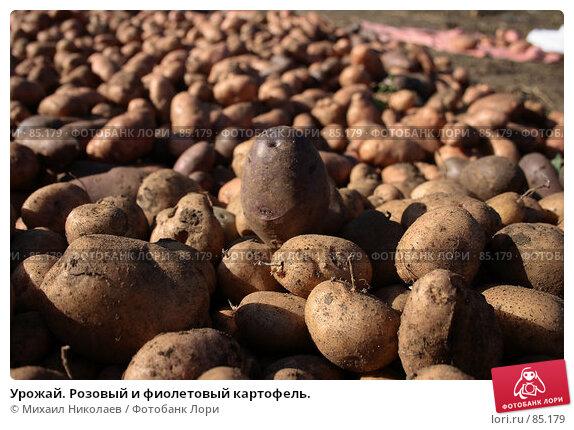Урожай. Розовый и фиолетовый картофель., фото № 85179, снято 9 сентября 2007 г. (c) Михаил Николаев / Фотобанк Лори