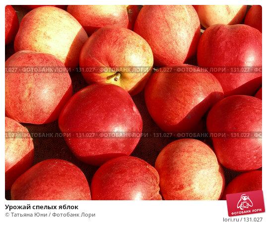 Купить «Урожай спелых яблок», эксклюзивное фото № 131027, снято 30 сентября 2007 г. (c) Татьяна Юни / Фотобанк Лори