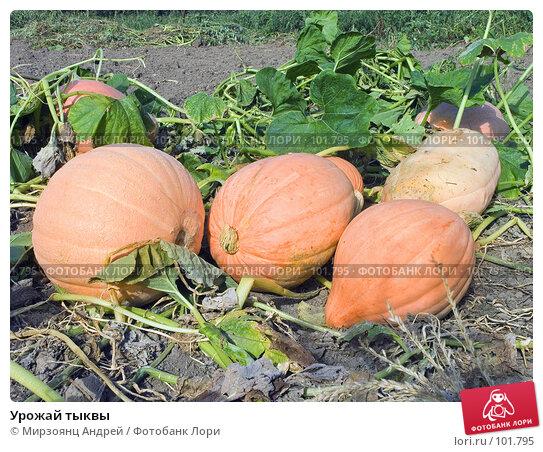 Урожай тыквы, фото № 101795, снято 1 сентября 2006 г. (c) Мирзоянц Андрей / Фотобанк Лори